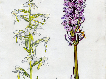 Greater butterfly and common spotted orchid - John Walters