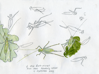 Oak bush crickets - John Walters