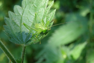 Speckled Bush-cricket