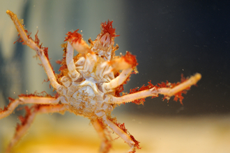 Great Spider Crab