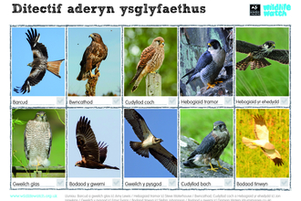 Birds of prey spotter - Welsh