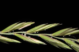 Elymus repens, Couch-grass
