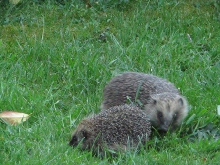 Hedgehogs in our garden