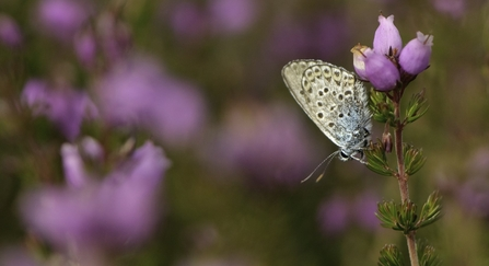 Butterfly in heathland