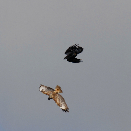 Buzzard in flight with raven