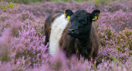 Cow in heathland